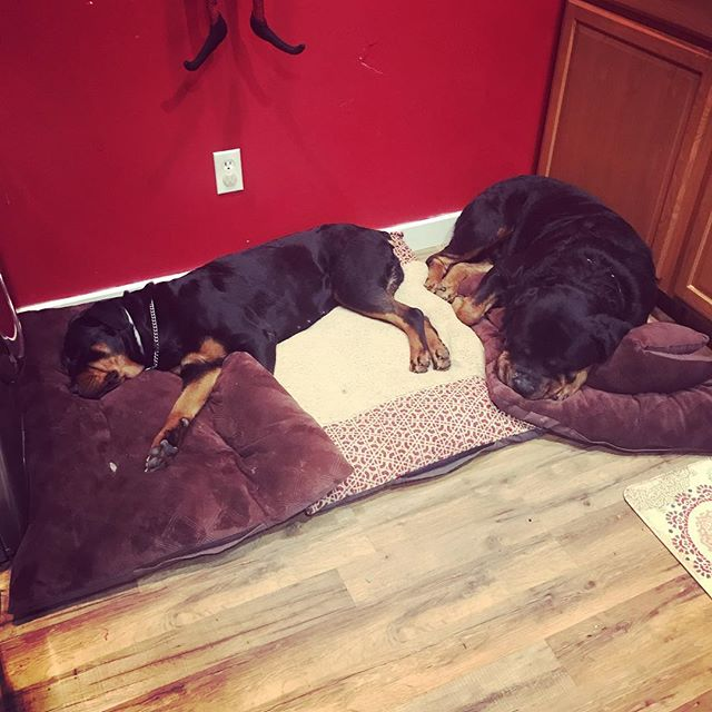 These two have it rough huh?? #rottweiler #rottweilersofinstagram #rottweilerpuppy #dogtrainer #dogtraining #dontbullymybreed #puppytraining #dog #dogsofinstgram #dogsofinsta #dogstagram #dogsofig #puppy #puppiesofinstagram #puppies #k9 #bark #woof #mansbestfriend