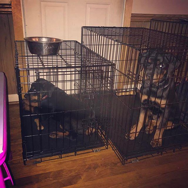 Rottweiler world #dogtrainer #dogtraining #petsofinstagram #petsofig #rottweilersofinstagram #mansbestfriend #k9 #dog #dogstagram #dogsofinsta #puppy #pup #puppies #puppiesofinstagram