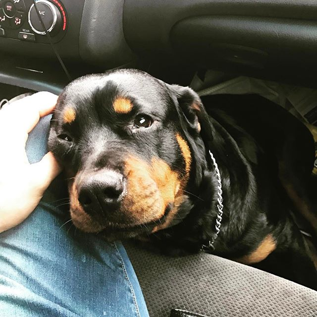 Brink #worldofdogs #k9 #workingdog #dog #dogtrainer #dogtraining #puppy #dogsofinsta #dogstagram #dogsofinstgram #rottweiler #rottweilersofinstagram #bark #woof