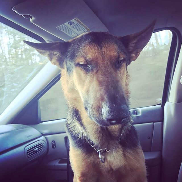 Someone is tired. Crazy ass dog right here. #gsd #gsdpuppy #gsdpage #gsdofinstagram #mansbestfriend #workingdog #dogtraining #dogtrainer #woof #bark #k9 #dog #dogsofig #dogsofinsta #dogsofinstgram #puppiesofinstagram #puppy