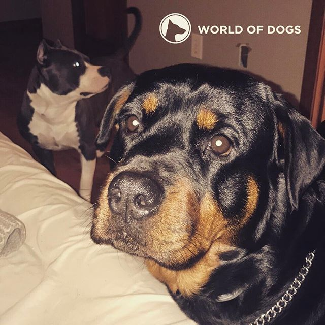 Love these girls #rottweiler #pitbull #bully #america #american #dog #dogsofig #dogstagram #dogtrainer #dogtraining #mansbestfriend #puppy #puppiesofinstagram #rottweilersofinstagram #pitbullsofinstagram #dontbullymybreed