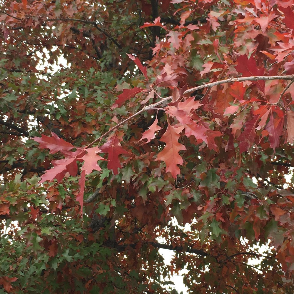 Denver Pin Oak in Autumn.JPG