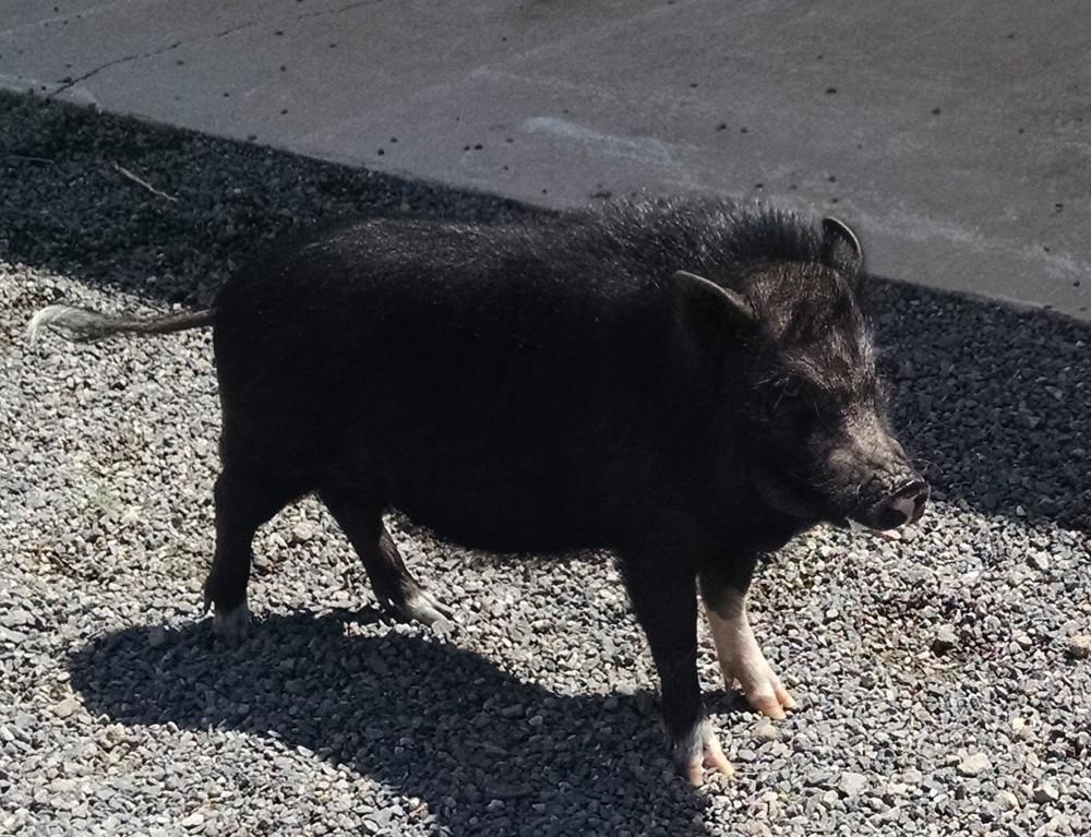 Nini-PB pig..jpg