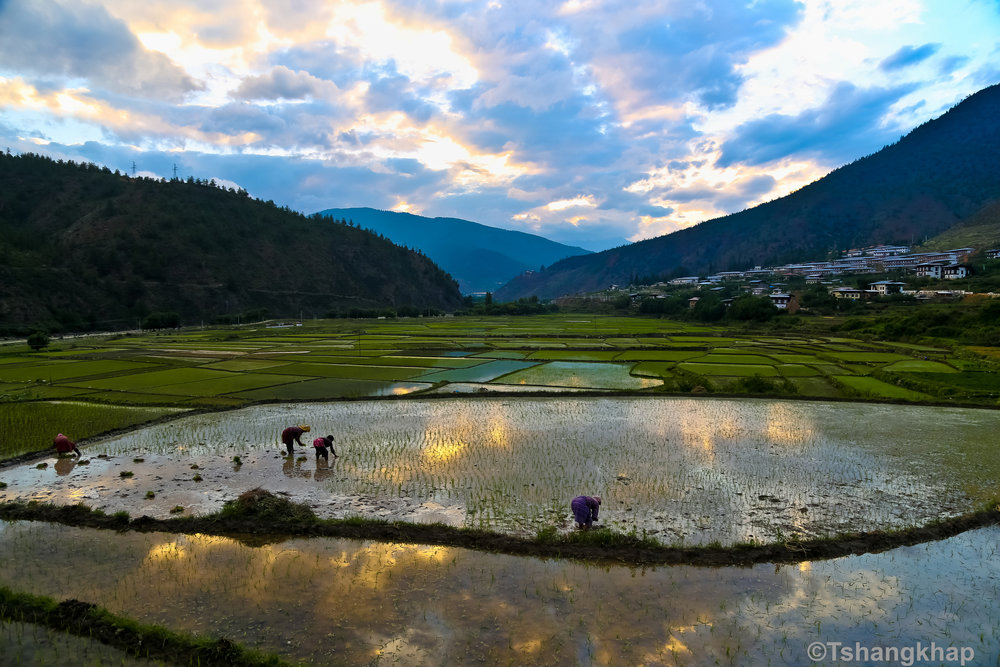 Cultivating rice in Paro