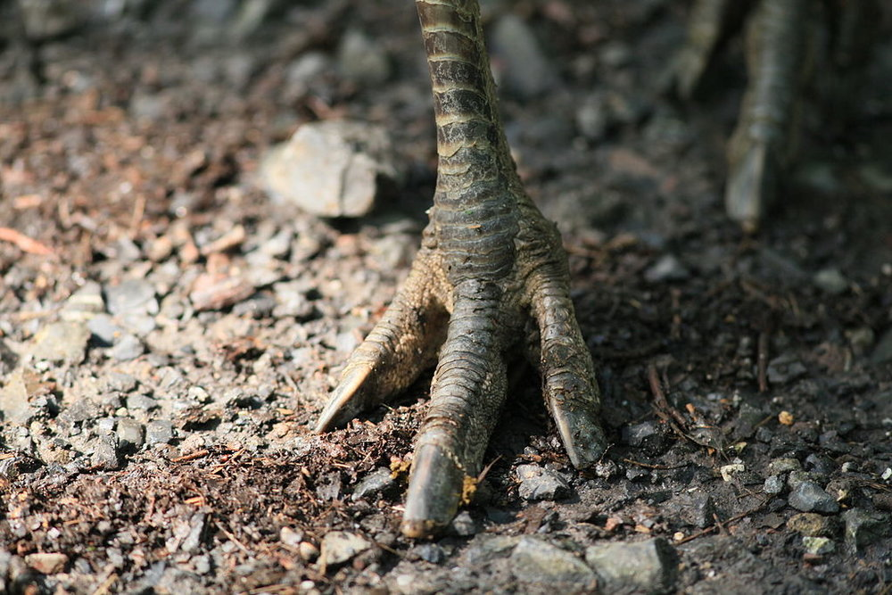 The three-pronged foot of a rhea. The image of a rhea footprint served as the basis for 'three' in Xerénte, an Amazonian language. Photo: Frank Vincentz ( source ).