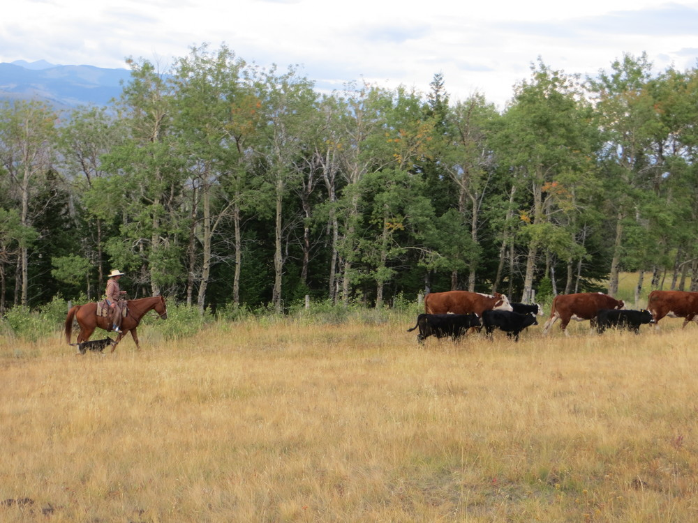 "Cattle are gathered, moved, and settled together. Not only is there great safety in numbers when herds move close together, but the land also benefits greatly from the ""herd impact"" by things such as hoof impact, fertilizer, and decreases in over-grazing due to animals being constantly on the move."
