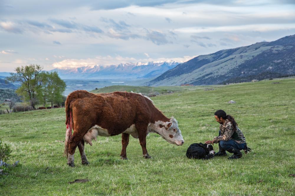 Tom Miner Basin rancher and range rider Dre Ramirez greets a newborn calf soon after birth on May 16.