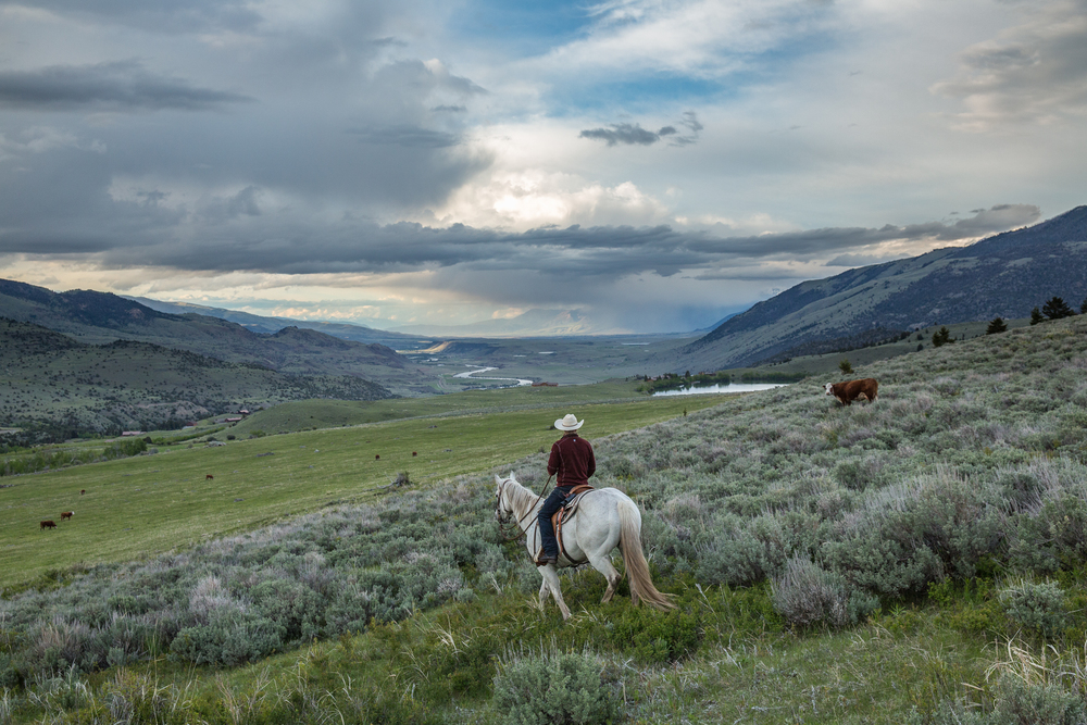 Range rider Daniel Anderson rides through a herd of cow and calf pairs looking for newborn calves, and moving the herd together for the night.