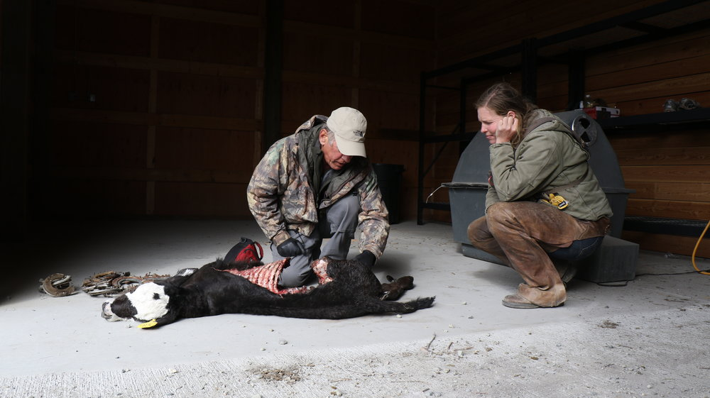 Range rider Bree examines a calf carcass alongside USDA Wildlife Services' Jim Rost (Photo: Melissa DiNino)