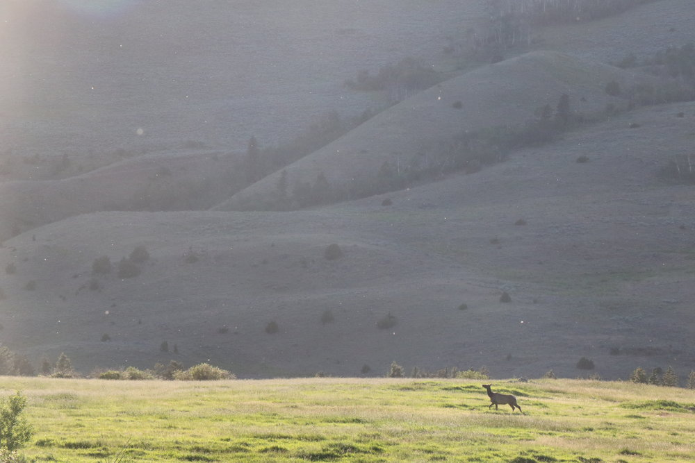 A single cow elk travels just below the cattle pasture at sunset. Photo by Melissa DiNino.