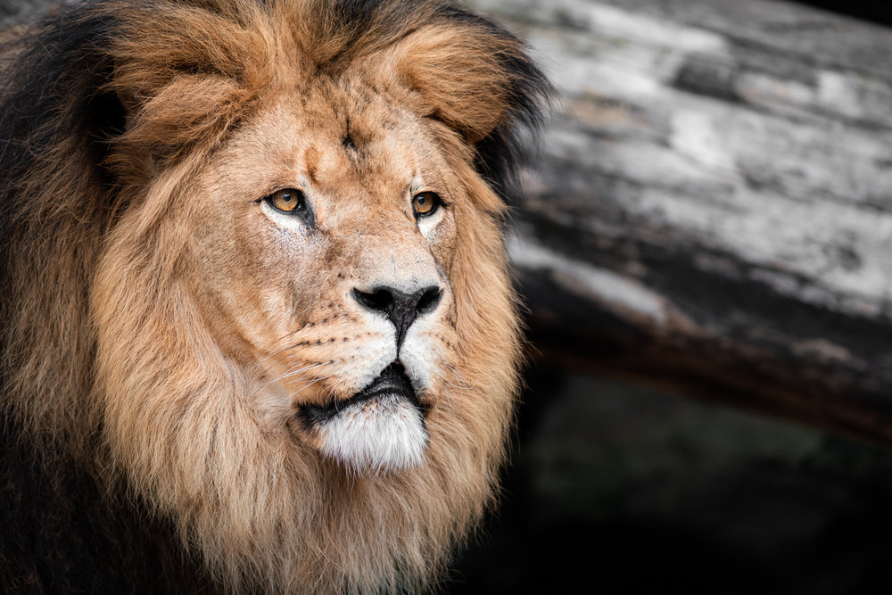 African Lion  - Amsterdam Zoo