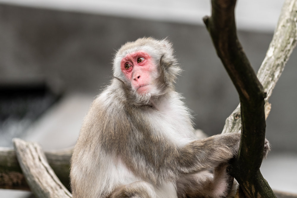 Japanese Macaque  - Amsterdam Zoo