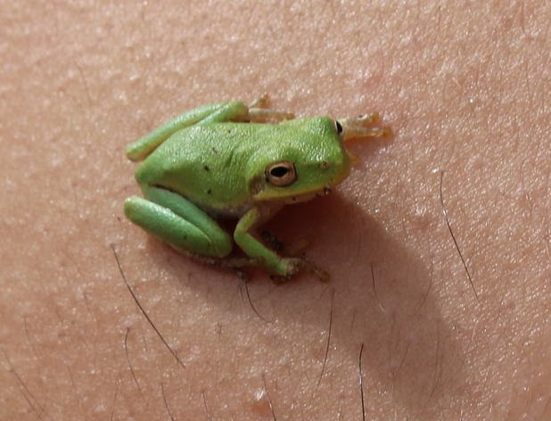 Tree Frog Johan