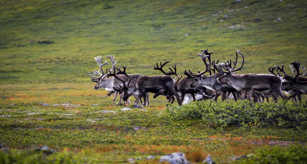 Reindeer, Finnmark - Norway