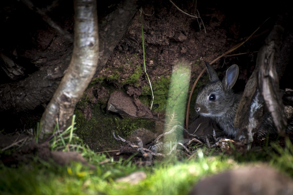 Baby rabbit hiding. Photo by Inga