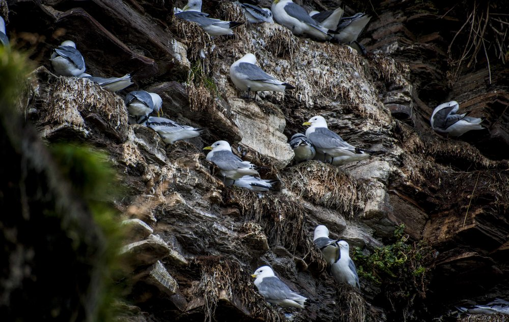What was left of the kittiwakes and little gulls