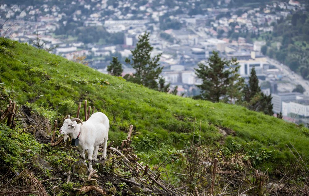 Goats in Bergen