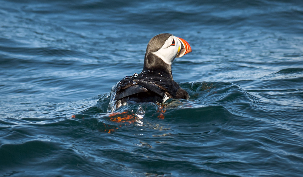 Puffin, Bleik - Norway