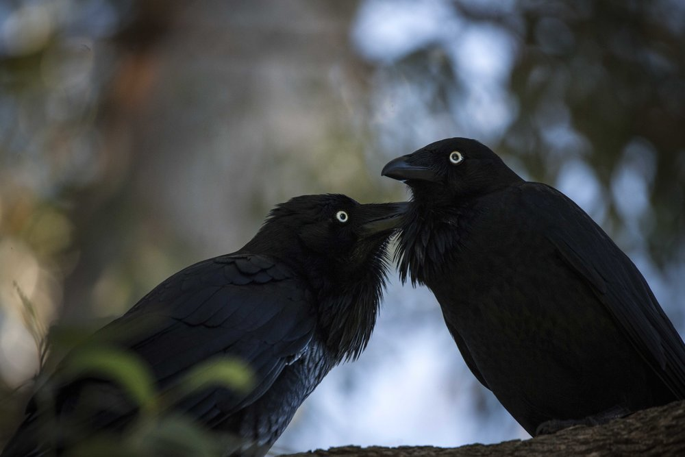 Australian ravens