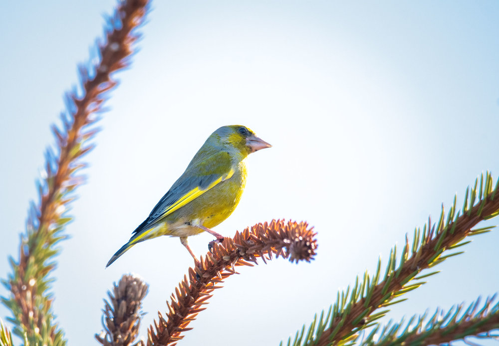 Greenfinch, Vadso