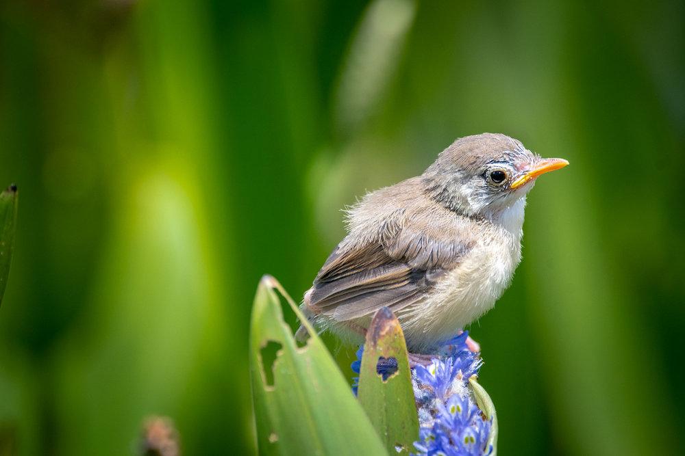 Plain Prinia chick