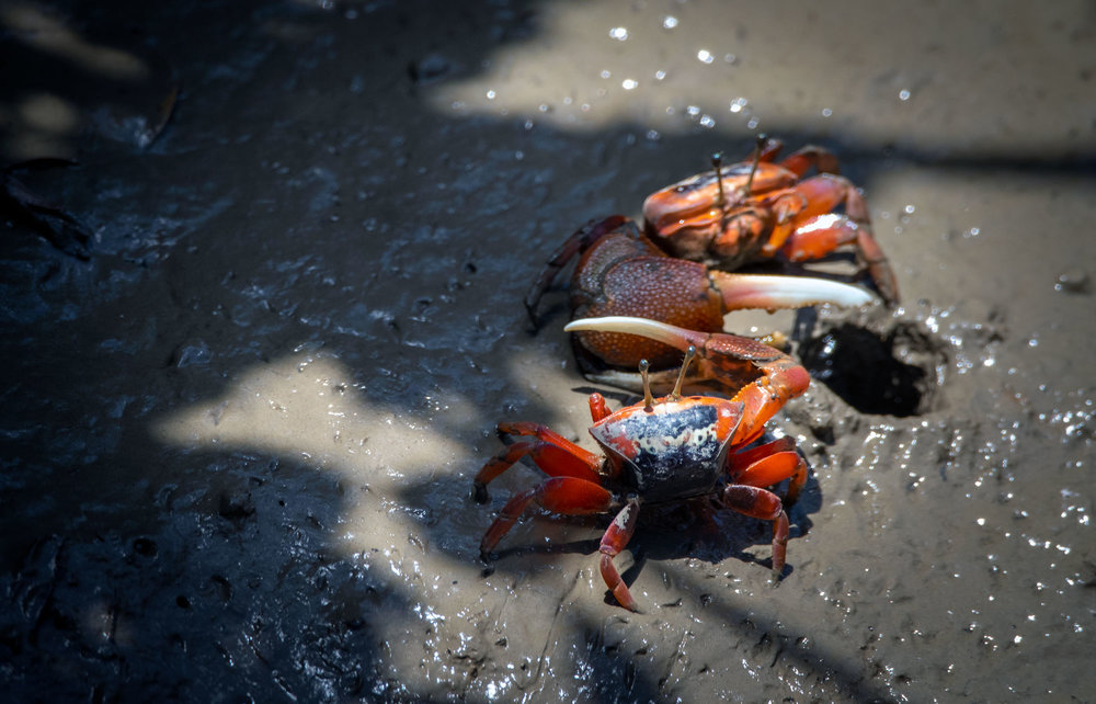 Bowed Fiddler Crab (large) and Sesarminae Crab