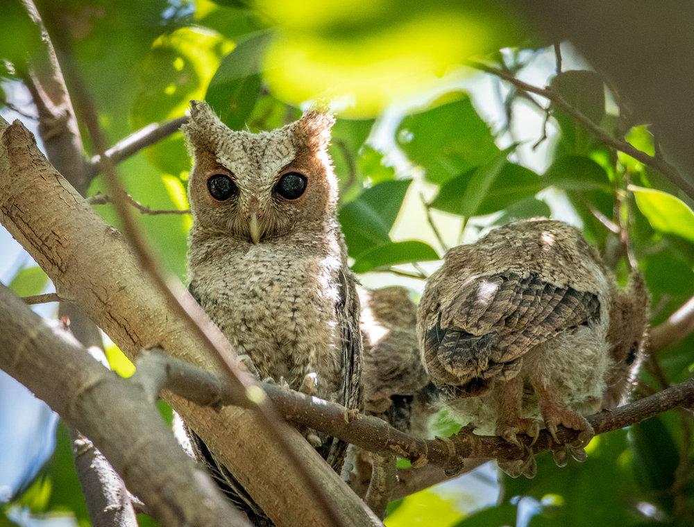 Scops owls
