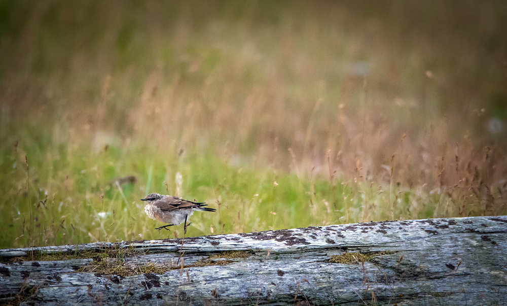 Northern Wheatear Juvenile