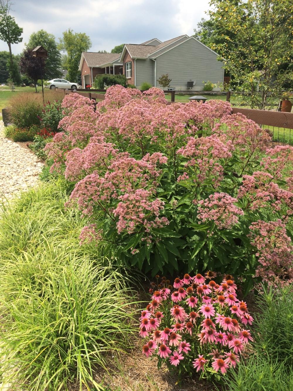 joe pye weed in full bloom along with echinacea