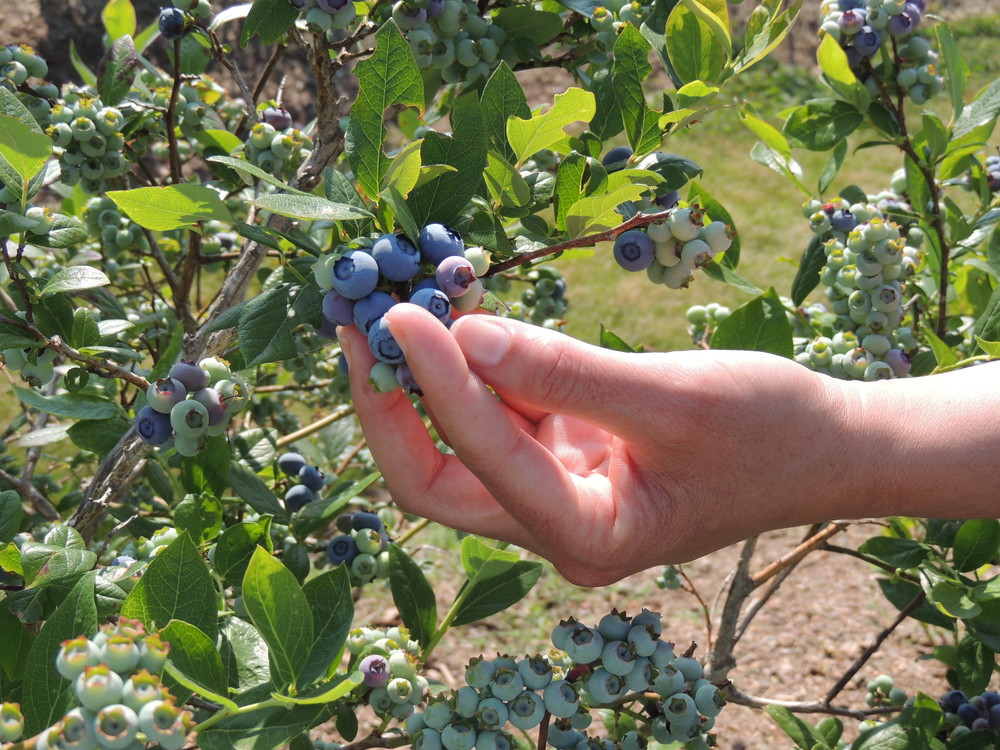 Blueberries grown at VSU's Randolph Farm help determine which cultivars are suited to Virginia soils and climates, as well as to teach growers best practices.