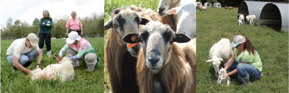 pasture-lambing-workshop