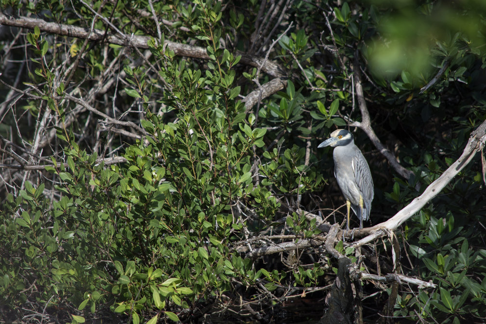 A Yellow-Crowned Night Heron surveys a coastal pond for juvenile land crabs (Gecarcinus ruricola).  Photo Credit: Mike Kowalski