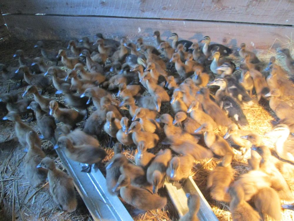 ducks in incubator.jpg