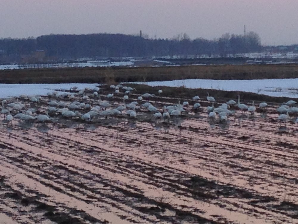 Swans stopping over in Bibai, on their migration to Siberia.