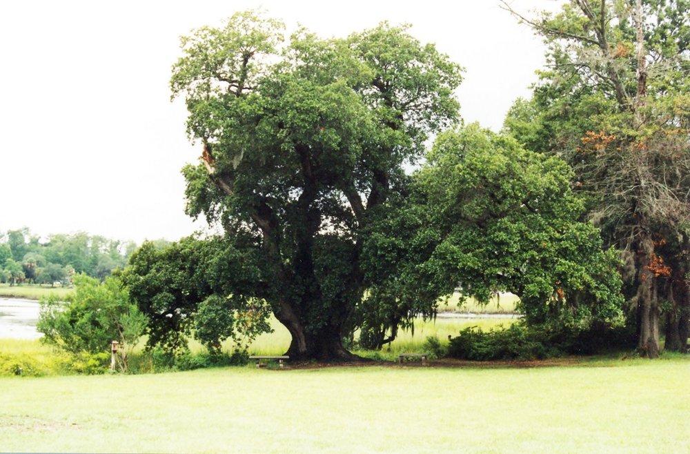 00001 boone hall oldest oak.jpg