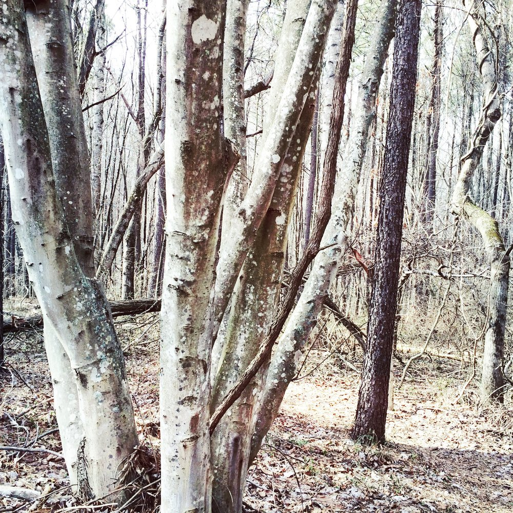 VCCA trees.jpg