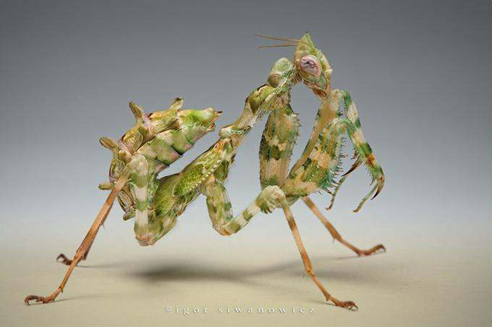 Igor Siwanowicz, Macro Insect Photography, Praying Mantis