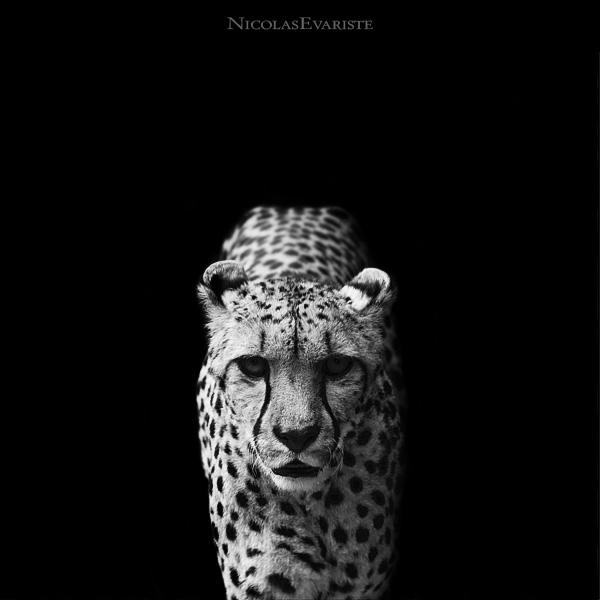 Nicolas Evariste, cheetah, black and white, animal photography, high contrast