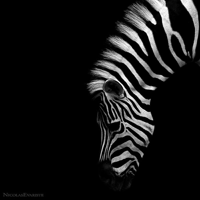 Nicolas Evariste, zebra, black and white, animal photography, high contrast