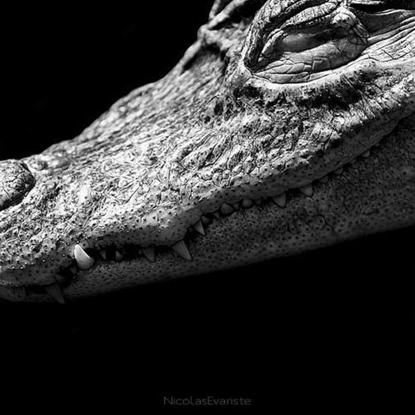 Nicolas Evariste, crocodile, alligator, black and white, animal photography, high contrast