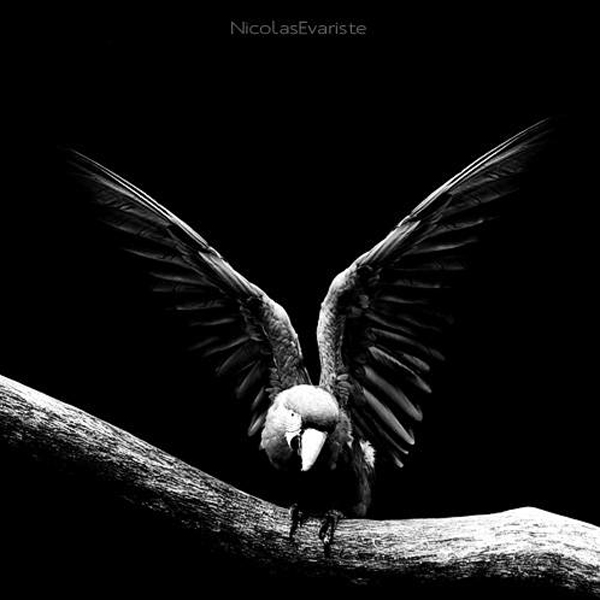 Nicolas Evariste, parrot, black and white, animal photography, high contrast