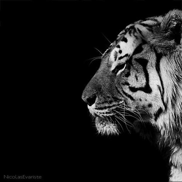 Nicolas Evariste, tiger, black and white, animal photography, high contrast