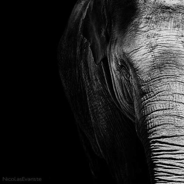 Nicolas Evariste, elephant, black and white, animal photography, high contrast