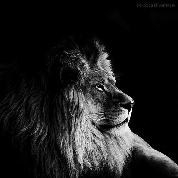 Nicolas Evariste, lion, black and white, animal photography, high contrast