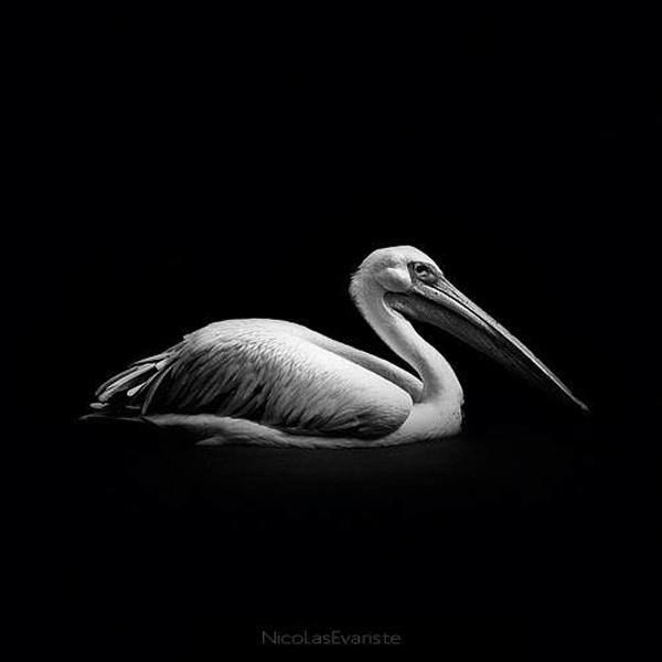 Nicolas Evariste, pelican , black and white, animal photography, high contrast