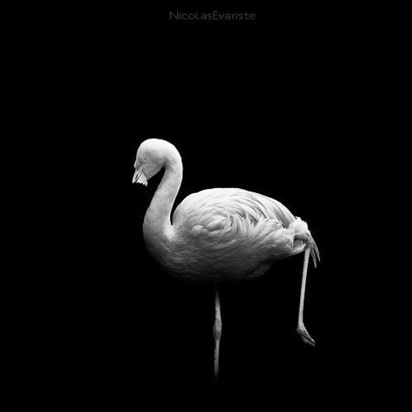 Nicolas Evariste, flamingo, black and white, animal photography, high contrast
