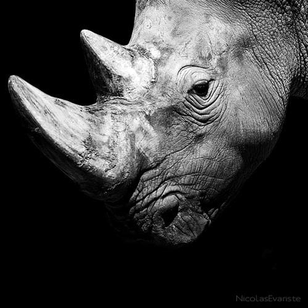 Nicolas Evariste, rhinoceros, rhino, black and white, animal photography, high contrast