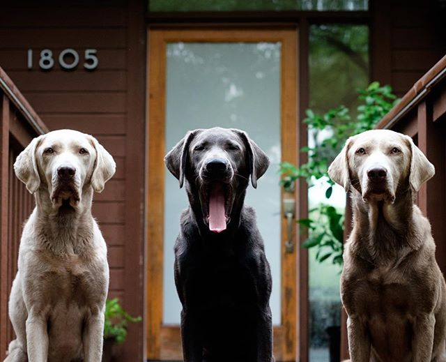 Elle, Chief, and Lil as the 12 legged gang of 1805  _______________________________________________________________#altraoutdoors #labs #labsofinstagram #silverlab #charcoallab #austin #atx
