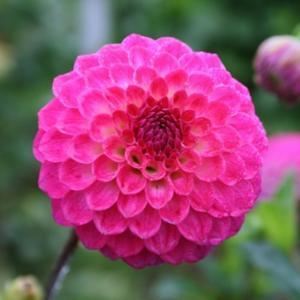 Fatima pink pom.jpg