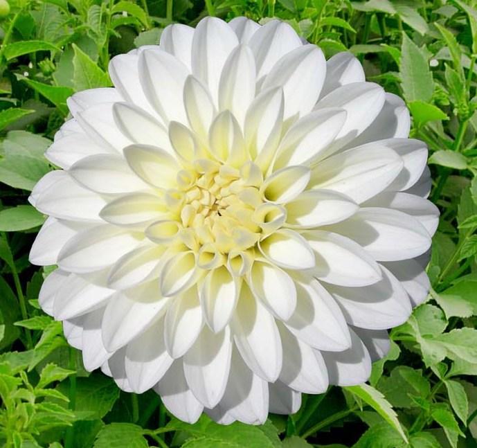 Snowcap white.jpg